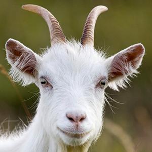 omar-goat